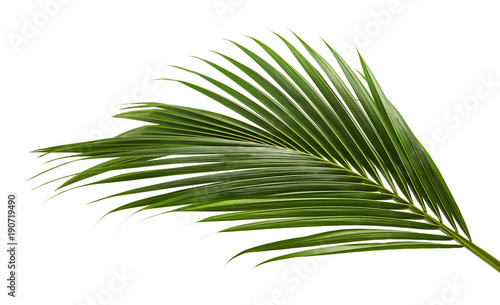 Recess Fitting Palm tree Coconut leaves or Coconut fronds, Green plam leaves, Tropical foliage isolated on white background with clipping path