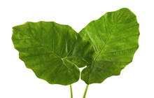 Colocasia Leaf, Large Green Foliage (also Called Night-scented Lily Or Giant Upright Elephant Ear)  Isolated On White Background, With Clipping Path