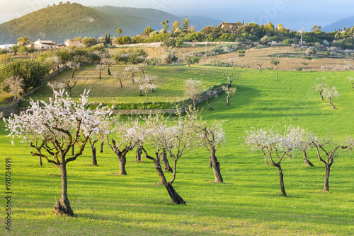 Photo  Landscape of the Mallorca countryside with almond trees in blossom