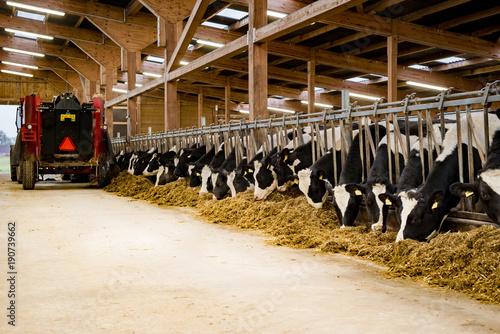 Moderner Rindviehstall - Fütterung von Silage mit Futtermischwagen