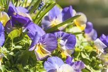 Kwiaty Bratki Ogrodowe