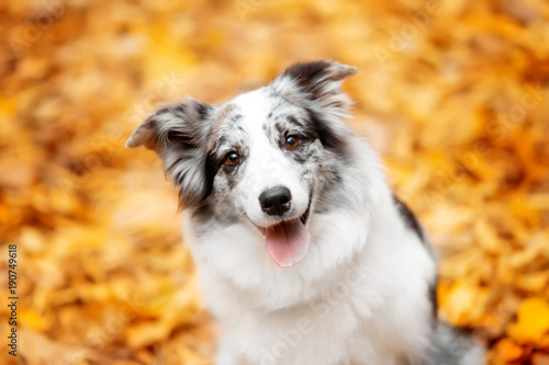 Photo portrait marble border collie dog sitting with leaves in autumn