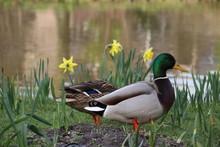 Duck In The Grass Between De D...
