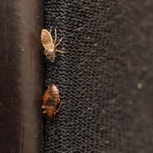 Cimex Lectularius Or Bed Bug C...