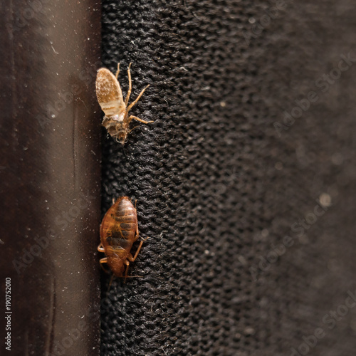Tela  Cimex lectularius or bed bug changed skin