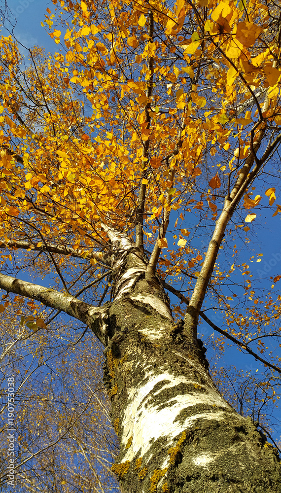 Trunk and branches with bright yellow leaves of beautiful autumn birch tree
