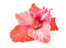 Gladiolus Closeup Isolated On ...