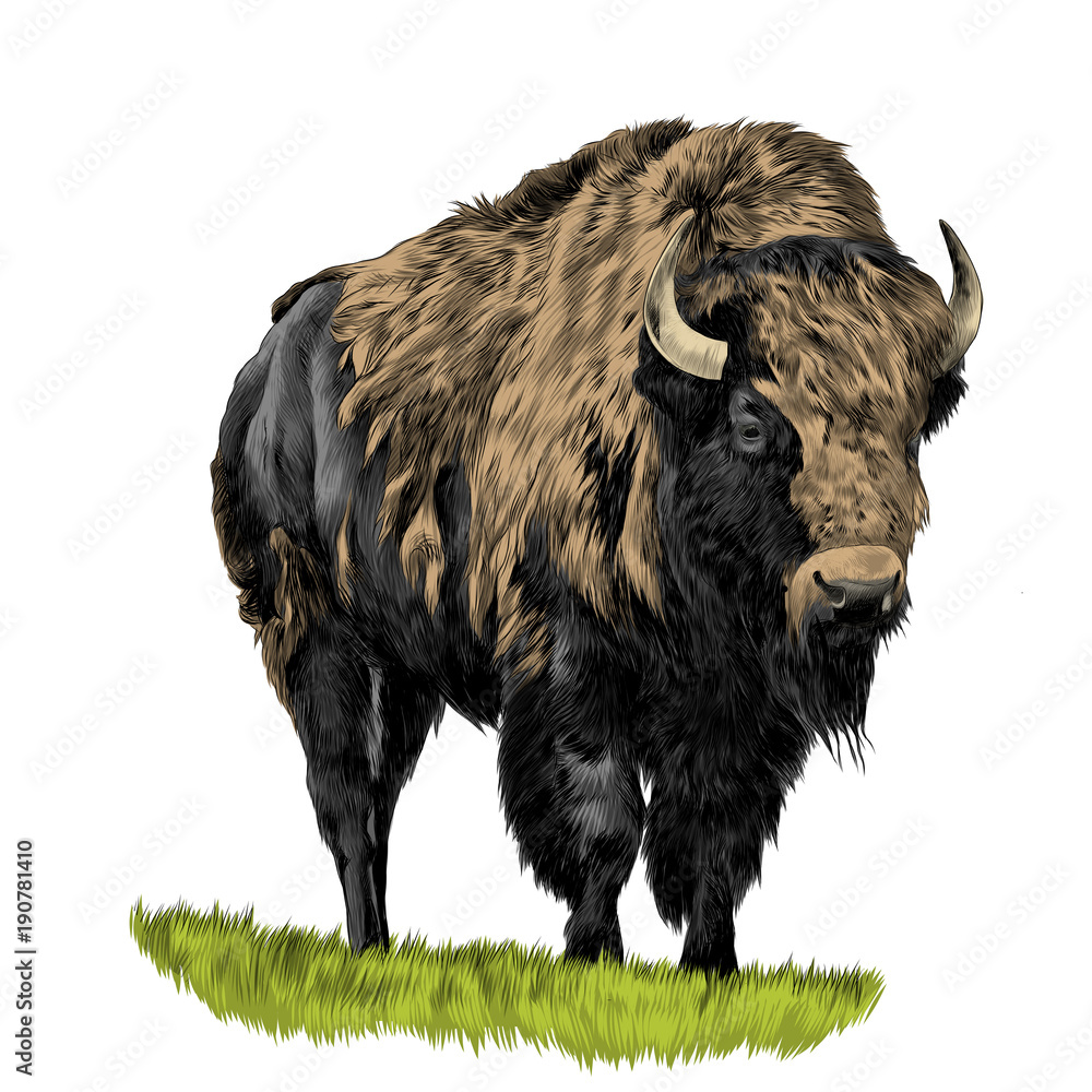 Fototapeta Buffalo standing in the grass, sketch vector graphics color picture