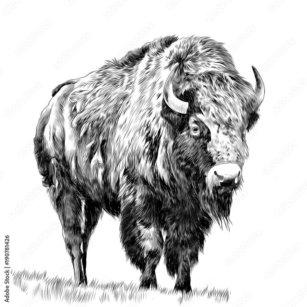 Fototapeta Buffalo standing in the grass, sketch vector graphics monochrome drawing