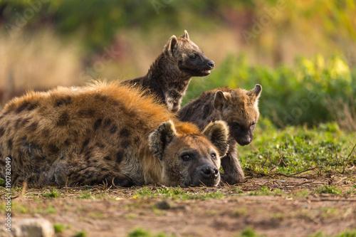 Photo sur Toile Hyène Hyene et ses bébés