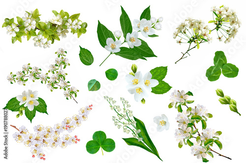 Wall Murals Lily of the valley fruit branch isolated on white background. jasmine and clover.