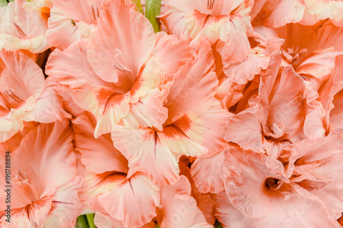 Texture of pink gladioluses on wooden white background Fototapet