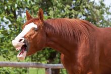 Portrait Of Yawning Hot-bloode...