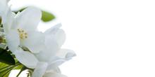 Beautiful Tender White Flowers Of Apple Tree