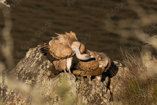 Recess Fitting Horses Griffon vulture Gyps fulvus in Extremadura