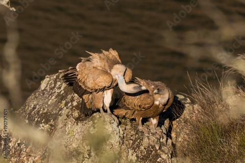 Canvas Prints Horses Griffon vulture Gyps fulvus in Extremadura