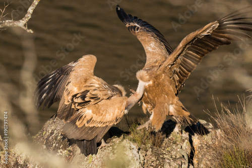 Door stickers Horses Griffon vulture Gyps fulvus in Extremadura