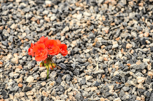 Closeup image of red flower growing up from the gravel Canvas Print