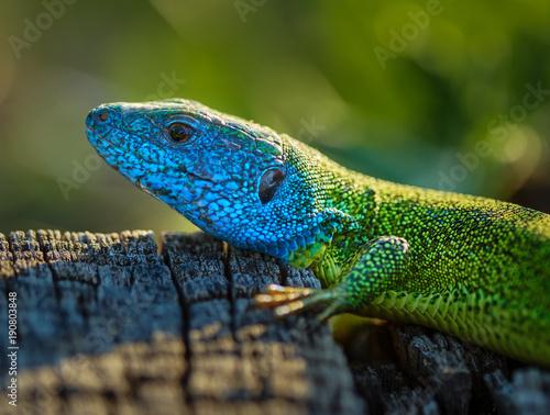 Foto  Emerald lizard on a stump