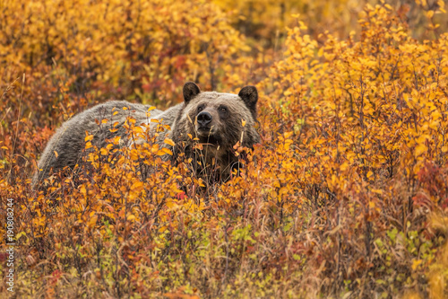 Valokuva  Grizzly Bear Fall Colors #2