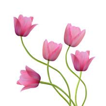 Two Spring Flowers. Tulips Isolated On White