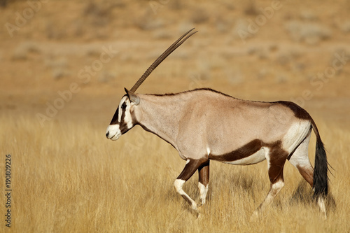 Poster Antilope Gemsbok antelope (Oryx gazella) walking in grassland, Kalahari desert, South Africa.