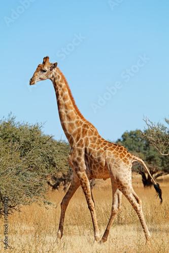 Staande foto Struisvogel A giraffe (Giraffa camelopardalis) in natural habitat, South Africa.