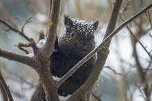 Close Up Of A Black, Dark Brown Squirrel On A Tree Branch, Winter Day, Snow