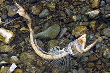 Dead Chum Salmon (Oncorhynchus...