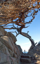 Cypress Tree Overhanging Trail At Point Lobos State Reserve, California