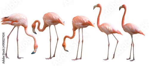 Door stickers Bird Beautiful flamingo bird isolated