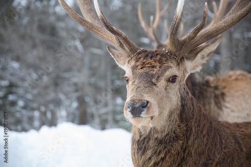 Aluminium Prints Deer Male deer - Proudly looking towards camera