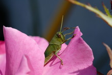 Grasshopper And Ant On Rose Pe...