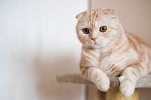 Adorable Ginger Scottish Fold ...
