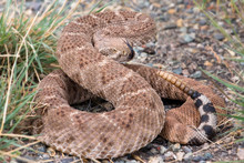 The Western Diamondback Rattlesnake Or Texas Diamond-back(Crotalus Atrox) Is A Venomous Rattlesnake Species In United States And Mexico. It Is Responsible For The Majority Of Snakebite Fatalities.