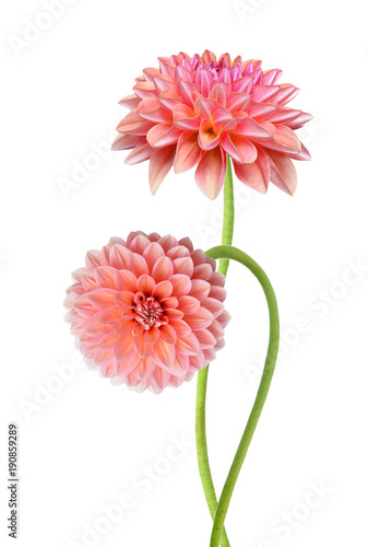 Poster de jardin Dahlia Pink dahlia isolated on white background