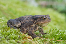 Common Toad (Bufo Bufo)/Toad I...