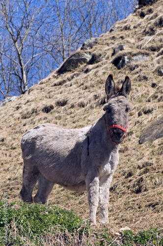 Photo Stands Ass Hausesel im Tessin / Schweiz (Equus asinus asinus) - donkey / ass