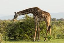 Giraffe Eating On The Grasslan...