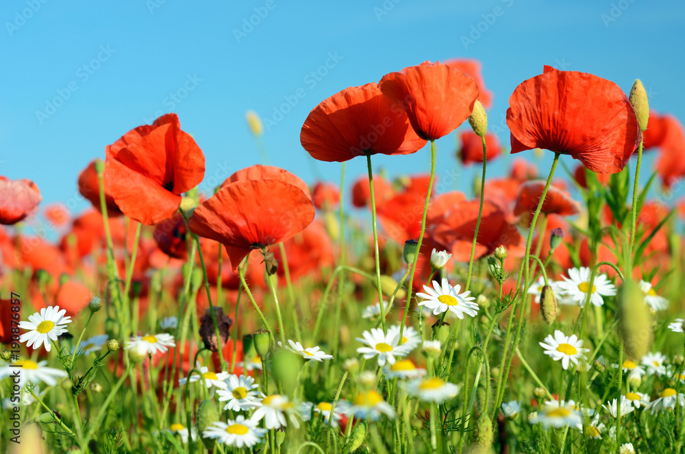 Fantastic landscape with daisies and poppies on a sunny day in pastel colors (harmony, relaxation, stress reduction, meditation - concept)