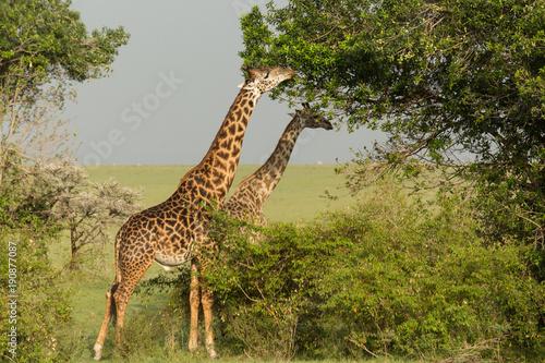 giraffe eating on the grasslands of the Maasai Mara, Kenya