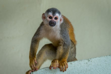 Squirrel Monkey Playing In Cos...