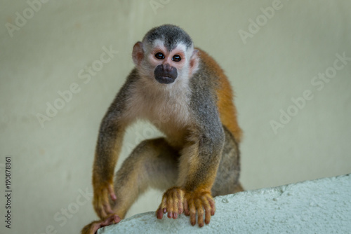 Squirrel Monkey playing in Costa Rica Wallpaper Mural