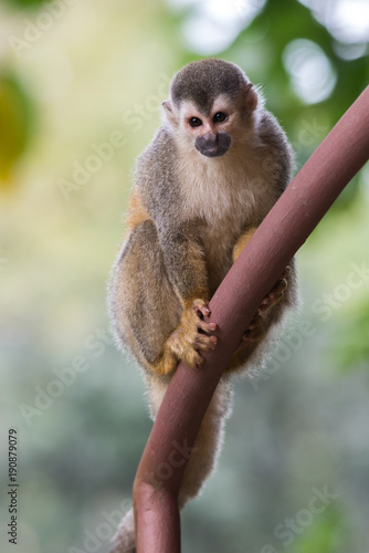 Photo  Squirrel Monkey playing in Costa Rica
