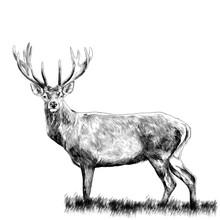 Deer Standing In The Grass, Sk...