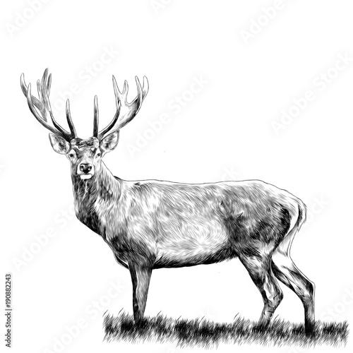 jelenie-stojacych-w-trawie-szkic-grafiki-wektorowej-monochromatycznego-rysunku