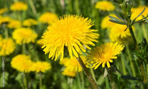 Keuken foto achterwand Paardebloem Фон. Красивый жёлтый одуванчик крупным планом ранней весной
