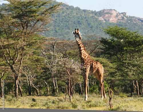 Photo  Male Masaii Giraffe
