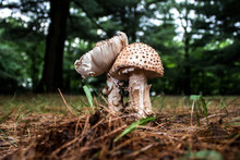 Wild Amanite Mushroom Closeup