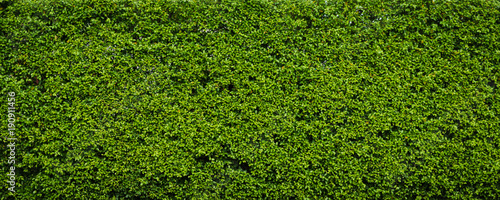 Fotografia Nature green leaf background and textured, Leaves wall for backdrop